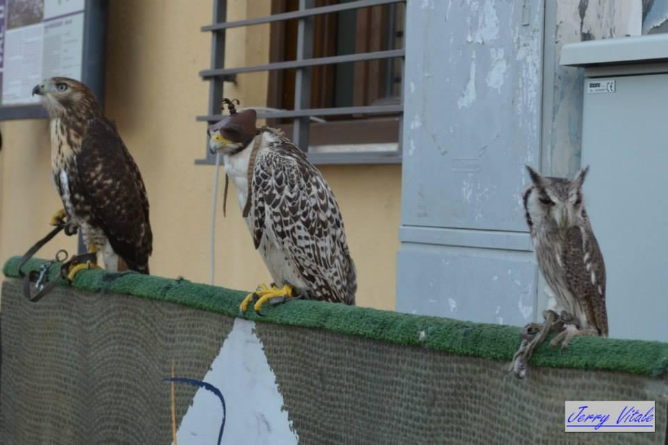 spettacolo-falconeria-2014-28